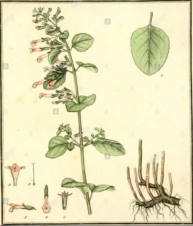 herbier-de-la-france-ou-collection-complette-des-plantes-indigenes-de-ce-royaume-avec-leurs-proprits-et-leurs-usages-en-medecine-ioh-est-ittut-stere-viort-ianit-u-ntist-fua-dam-iiat-tadti-caneur-de-rmumeaiieptems-i7napautt-du-fau (2)